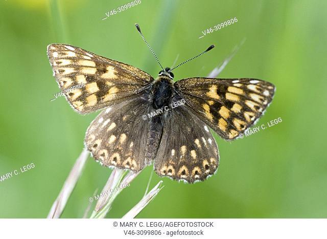 Duke of Burgundy, Hamearis lucina, only European Metalmark. Females have six legs, but males four. resident in calcareous grassland