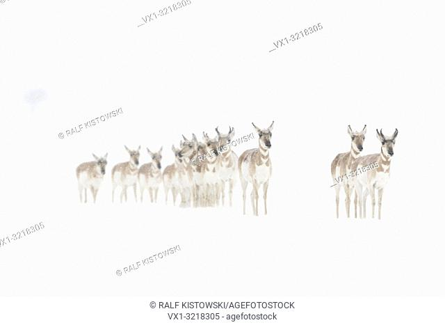 Pronghorns / Gabelböcke / Gabelantilopen ( Antilocapra americana ), small herd in winter, on snow covered plains of Yellowstone NP, USA