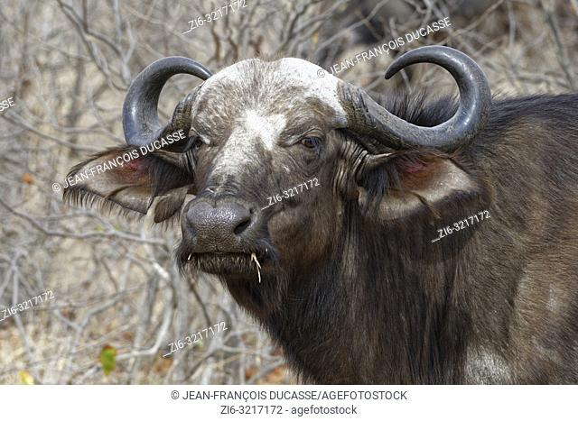 Cape buffalo (Syncerus caffer), adult female, standing among shrubs, alert, Kruger National Park, South Africa, Africa
