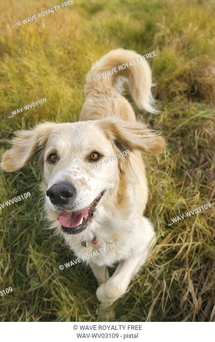 Tan coloured mixed breed dog standing on long autumn grass ready to play, Canada, Alberta