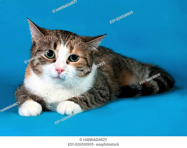 Tricolor cat with green eyes lying on blue background
