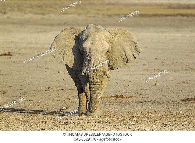 African Elephant (Loxodonta africana). Bull on his way to a waterhole. Etosha National Park, Namibia
