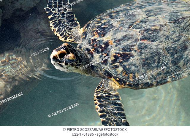 San Blás Panama: marine turtle in Yandup, little island of Kuna Yala