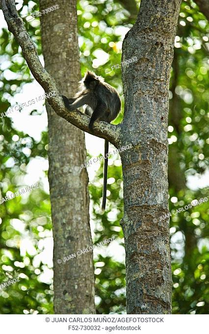 Langur, Labuk Bay Proboscis Monkey Sanctuary. Sabah, Borneo, Malaysia