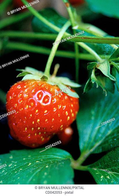 Strawberry growing in field