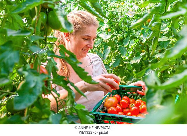 Woman on organic farm harvesting tomatoes in greenhouse, germany