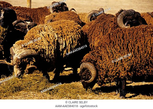 Arapawa Rams feeding on Baleage, Fowler Farm, near Oxford, Canterbury, NZ
