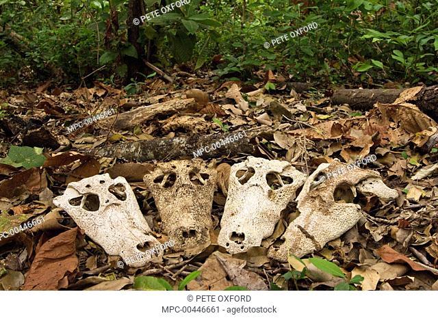 Jacare Caiman (Caiman yacare) skulls, likely killed by Jaguar (Panthera onca), Pantanal, Brazil
