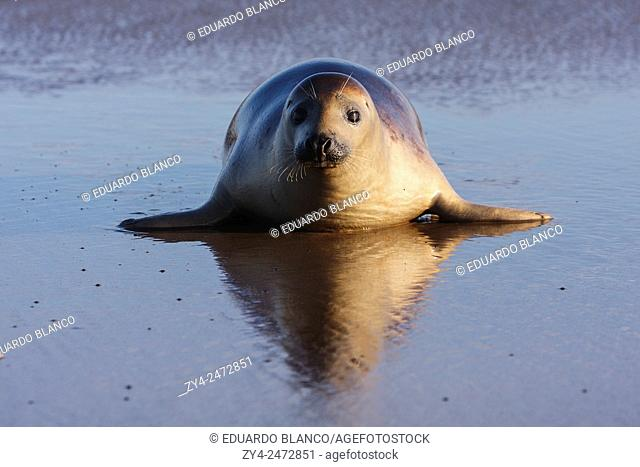 Seal grey (Halichoerus grypus) Donna Nook National Nature Reserve, Lincolnshile, England, U. K. , Europe