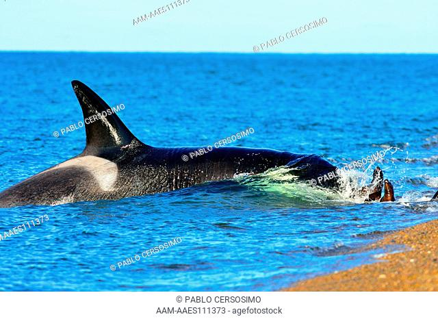 Orca or Killer Whale, Orcinus Orca, hunting South American Sea Lion, Otaria Flavescens at Peninsula Valdes, Patagonia, Argentina, South Atlantic
