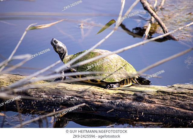 Turtle, Everglades NP, Florida, USA