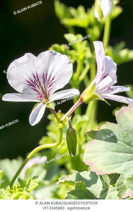 Pelargonium grandiflorum x betulinum