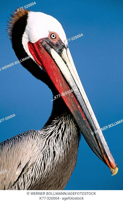 Brown Pelican (Pelecanus occidentalis californicus). San Diego. California. USA