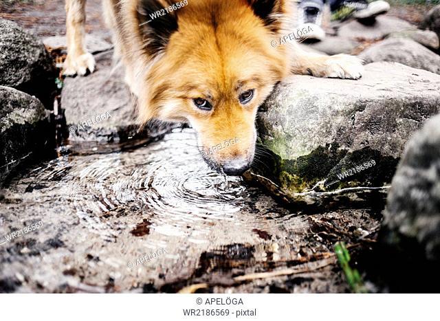 Eurasier drinking water at park