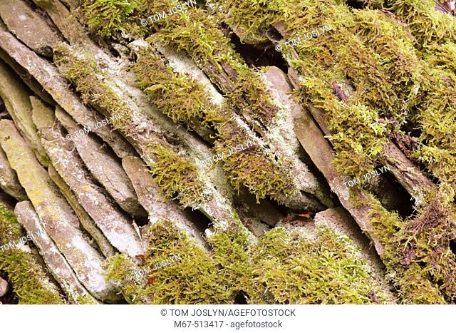 Moss covered stone wall. Wales, UK