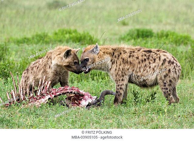 Dot-hyenas, Crocuta crocuta, cadavers, eating