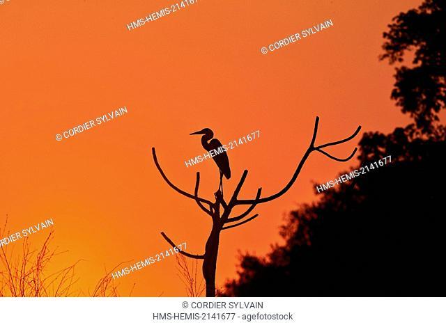 Brazil, Mato Grosso, Pantanal region, Cocoi Heron (Ardea cocoi), in the sunset