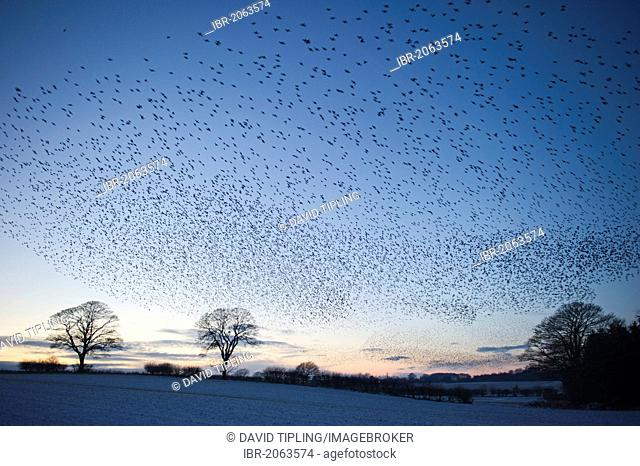 Starlings (Sturnus vulgarus) arriving at night time roost near Gretna, Dumfries, Scotland, United Kingdom, Europe