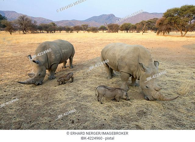 White rhinos (Ceratotherium simum) and warthogs (Phacochoerus africanus) grazing together, Okapuka Ranch, District Windhoek, Namibia