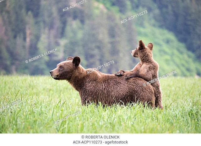 Grizzly bear (Ursus arctos horriblis), female and yearling cub female's back, Khutzeymateen Grizzly Bear Sanctuary, British Columbia, Canada