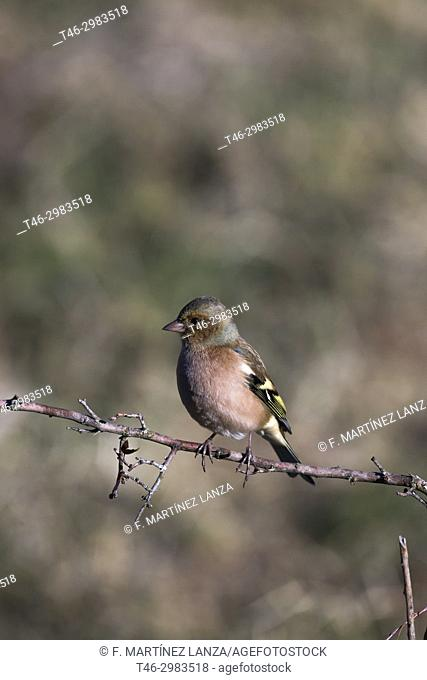 Common Chaffinch (Fringilla coelebs). Photographed in the Tietar Valley, Toledo