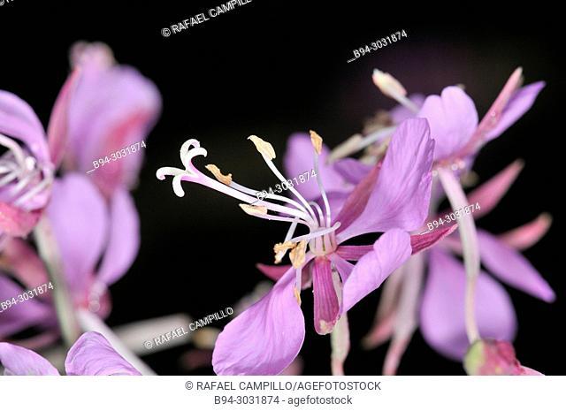 Flowers of Fireweed (Epilobium angustifolium, fam. Onagraceae. Sorteny valley, Natural Park. Andorra