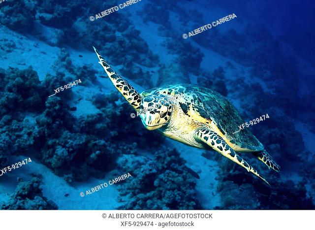 Green turtle, Red Sea, Egypt