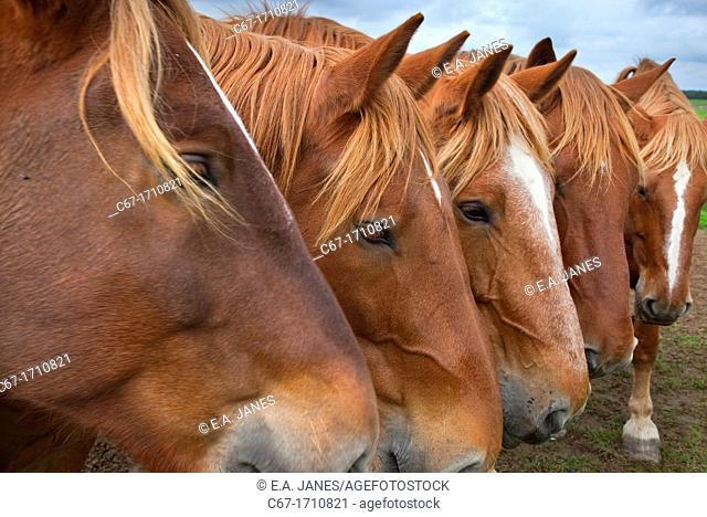 Suffolk Punch Heavy Horses