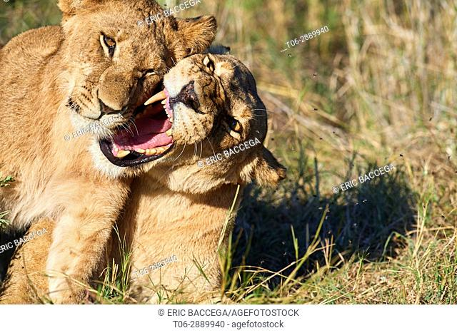 African lioness snarling with cub (Panthera leo) Okavango Delta, Moremi National Park, Botswana