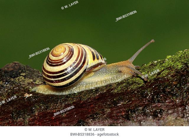 brown-lipped snail, grove snail, grovesnail, English garden snail, larger banded snail, banded wood snail (Cepaea nemoralis), creeping on lichened wood, Germany