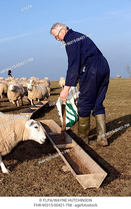 Sheep farming, farmer feeding Welsh ewes concentrates from bag, England, march