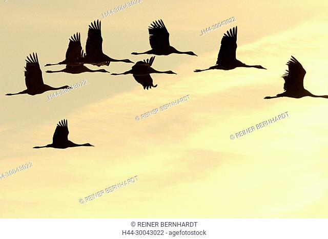 Real cranes, grey cranes, Grus grus, crane, cranes, crane's birds, crane's train, Mecklenburg-West Pomerania, Mecklenburg lowland plain full of lakes