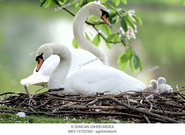 Mute Swan - adults with two cygnets at nest (Cygnus olor)
