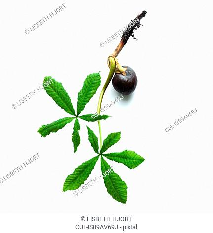 Horse chestnut sprouting seed and new leaf
