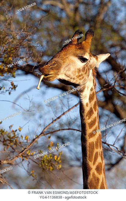 Giraffe Giraffa Camelopardalis  Giraffe chewing a bone to obtain calcium  June 2009, winter  Balule Private Nature Reserve