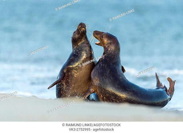 Grey Seal, Halichoerus grypus, Couple Fighting in Mating Season, Europe