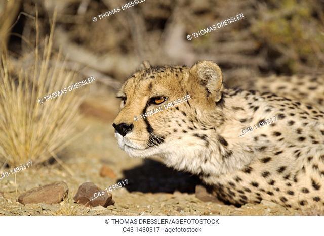 Cheetah Acinonyx jubatus - Resting female  Photographed in captivity on a farm  Namibia