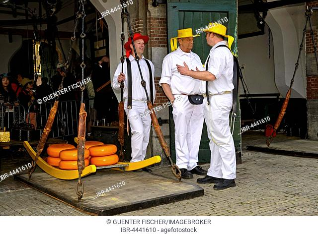 Cheese wheels being weighed, carried on wooden stretcher from scales to cheese market, Alkmaar, Holland, The Netherlands