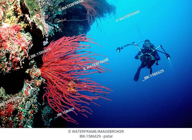 Diver and Red Whip Coral (Ellisella ceratophyta), Palau, Micronesia, Pacific