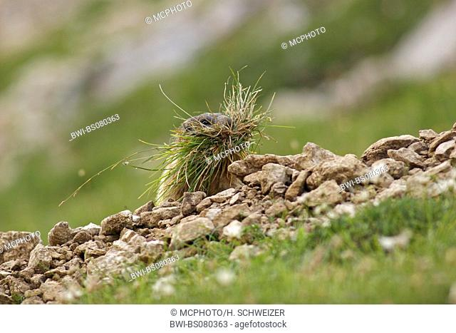 alpine marmot (Marmota marmota), collecting grass, Italy, South Tyrol, Dolomites
