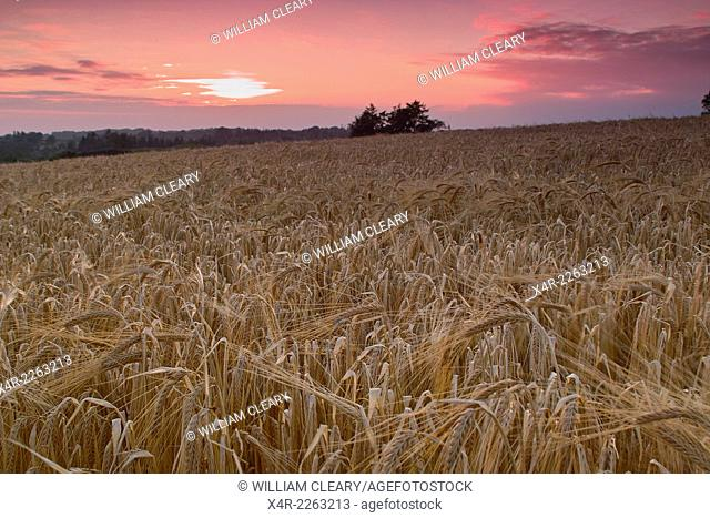 Barley field, Loughnavalley, County Westmeath, Ireland