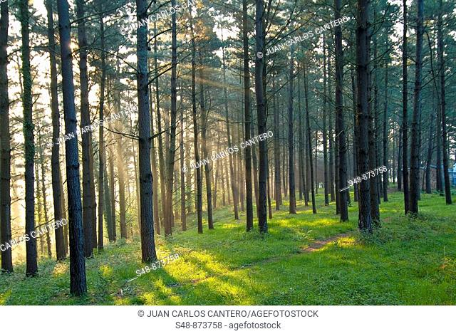 Pine Forest at dawn Mallabia. Vizcaya. Basque Country