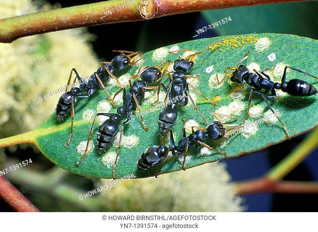 Jumping jack ants Myrmecia gulosa feeding on the sweet material secreted by leaf lerps  psillids where they participate in an act of symbiosis where they...