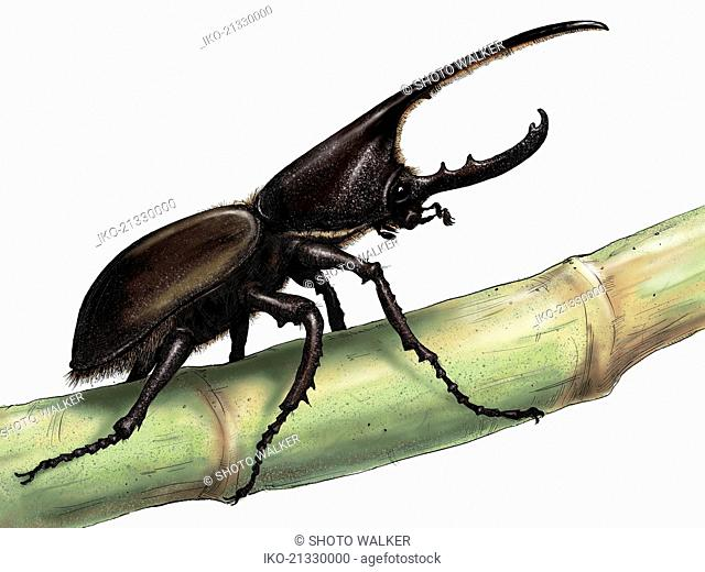 Illustration of rhinoceros beetle