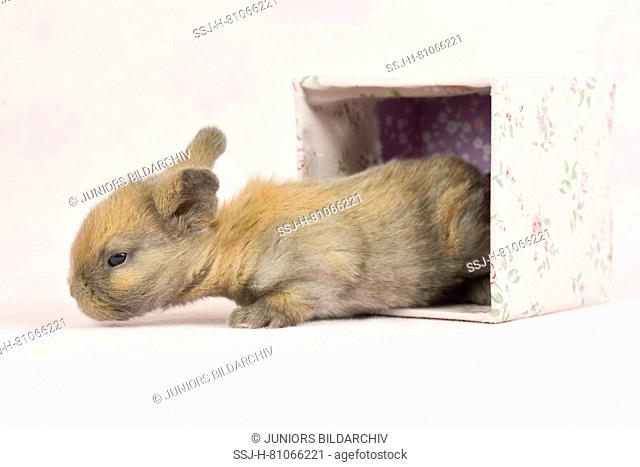 Dwarf Lop-eared Rabbit. Baby (11 days old) in a box with flower print. Studio picture seen against a pink background. Germany