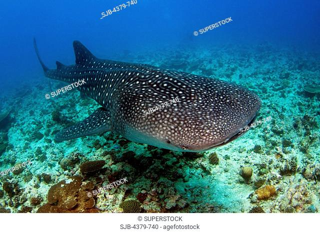 A whale shark Rhincodon typus, the largest fish in the sea, swimming over a reef, South Ari Atoll, The Maldives