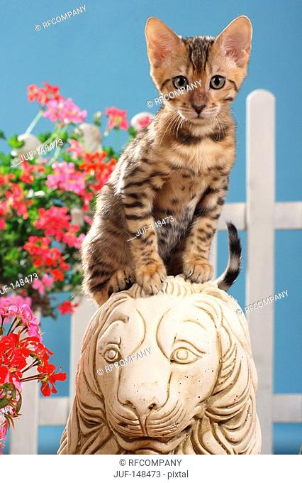 Bengal kitten - sitting on a statue