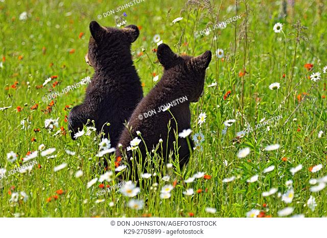 Black bear (Ursus americanus) Cubs in flower field, captive raised, Minnesota wildlife Connection, Sandstone, Minnesota, USA