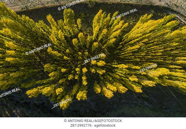 Black poplar (Populus nigra) in autumn. Almansa. Albacete province. Spain