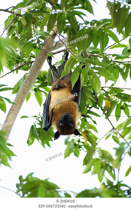 Flying Fox Hanging Down Head on Tropical Tree outdoors